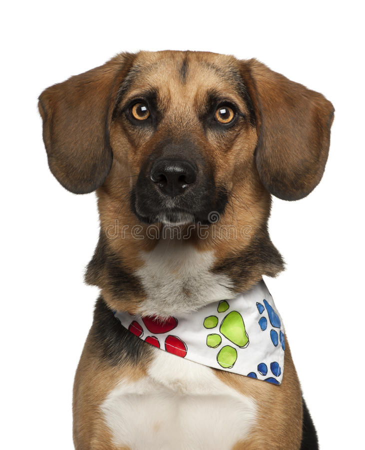 Download Dog, Cross Breed With A Beagle, 2 Years Old Stock Photo - Image: 26645436