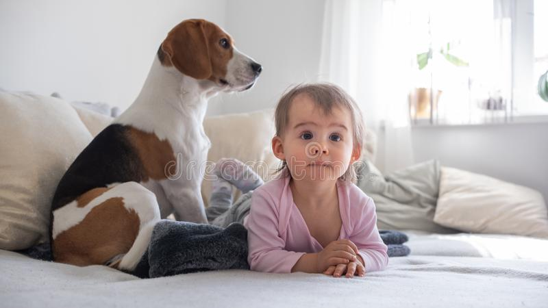 Dog with a cute baby girl on a sofa. Beagle sitting in background looking through window, baby girl on her belly watching TV royalty free stock photo
