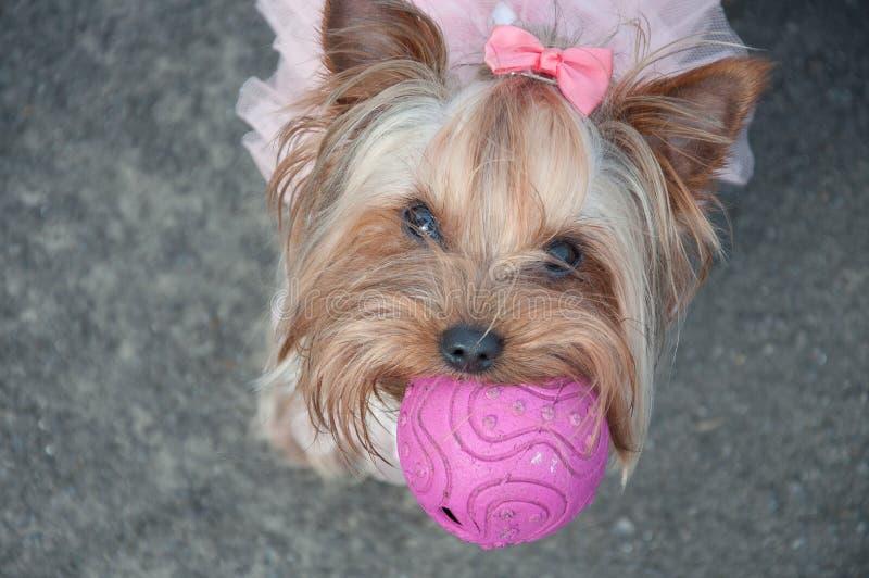 Dog, cute, ball, pink, bow, game, animal, funny, gray stock photos