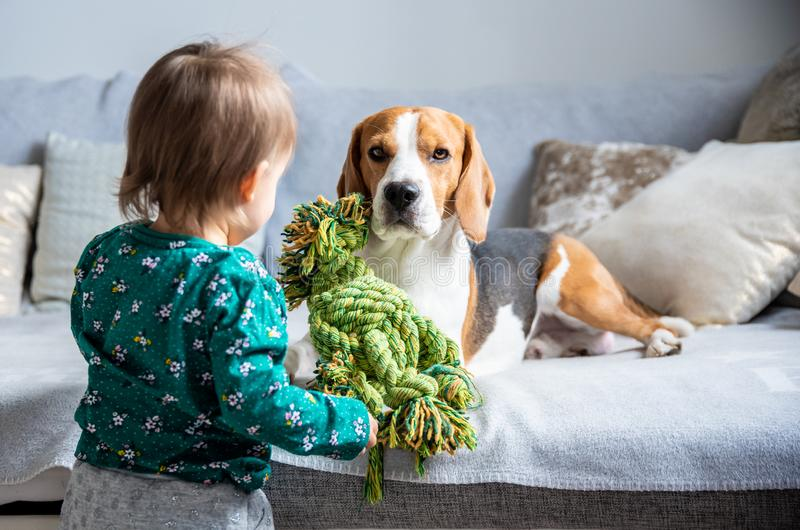 Dog with a cute caucasian baby girl. Beagle lie on sofa, baby comes with toy to play with him stock photo