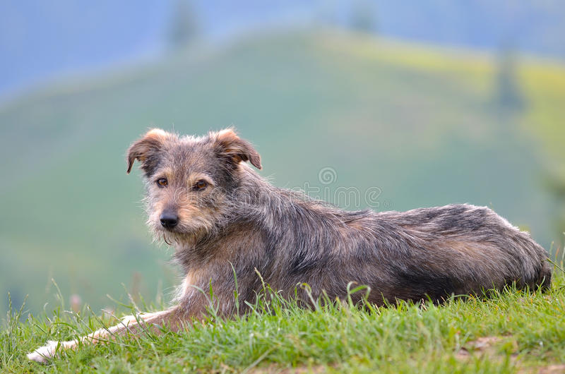 Download Dog resting stock photo. Image of background, cute, blurred - 33627352