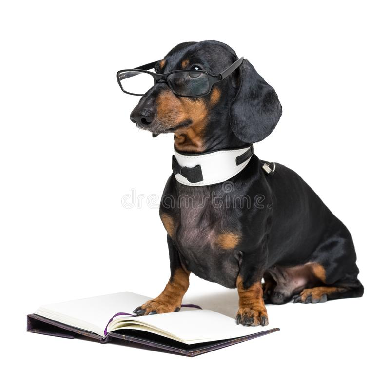Dog dachshund, black and tan, in a bow tie and glasses reading a book, isolated on a white background.  stock images