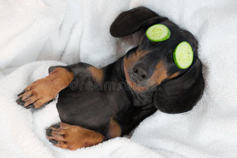 Dog dachshund, black and tan, relaxed from spa procedures on face with cucumber, covered with a towel.  royalty free stock photography
