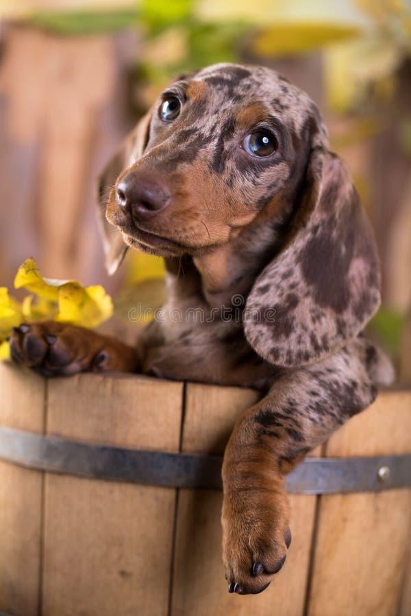 Dachshund dog portrait over white background stock images