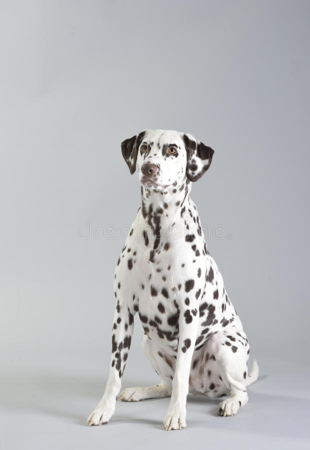 Dog Dalmatian royalty free stock photography