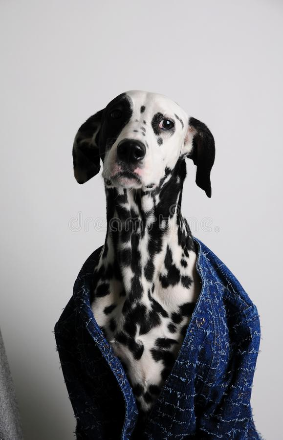 Dog dalmatian in a blue jacket on a white background. Funny portrait with serious face royalty free stock photo