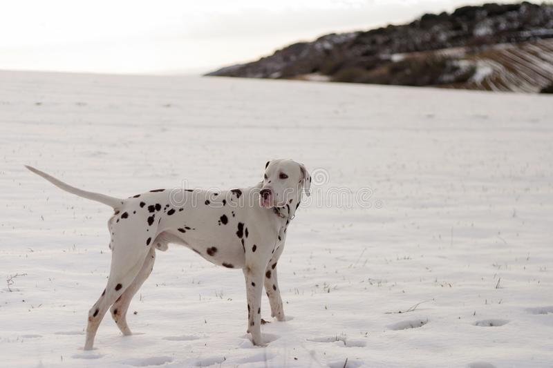 Dog of the Dalmatian race in the snow. stock images