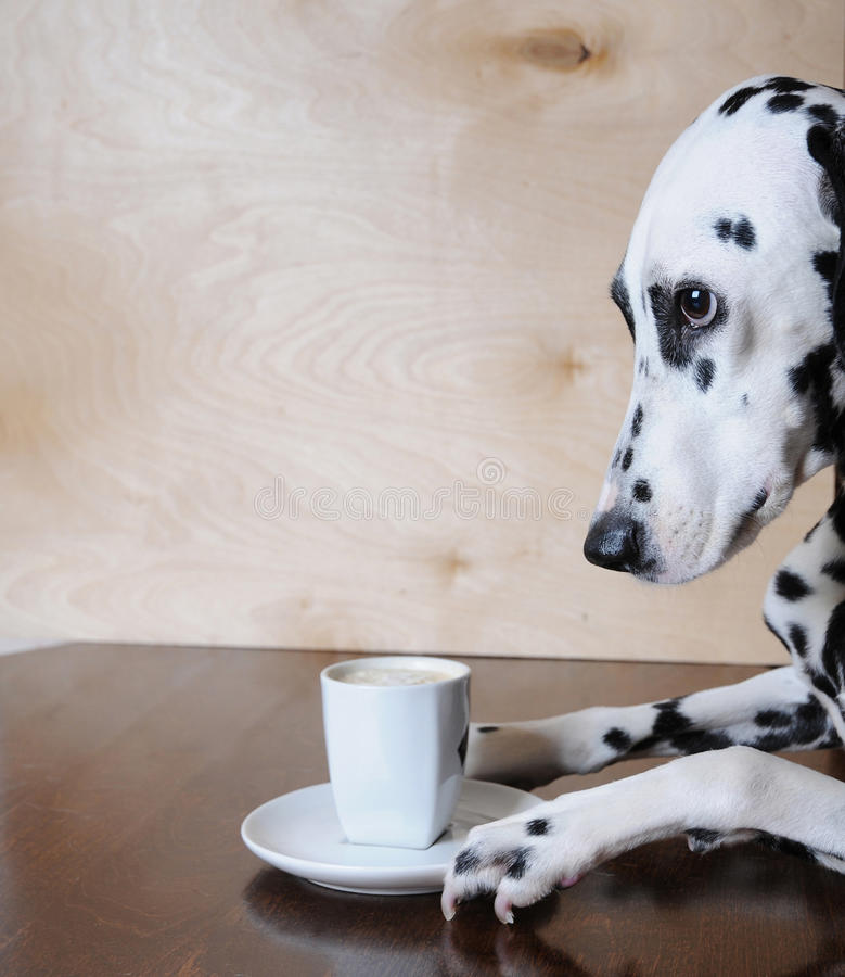 Dog dalmatian sitting at the table with a cup of coffee cappuccino royalty free stock images