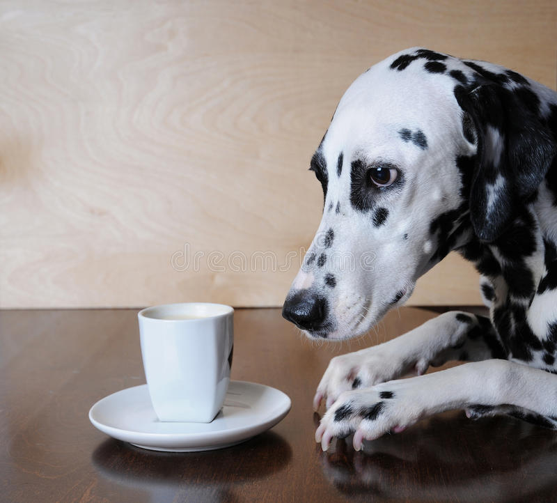 Dog dalmatian sitting at the table with a cup of coffee cappuccino royalty free stock image