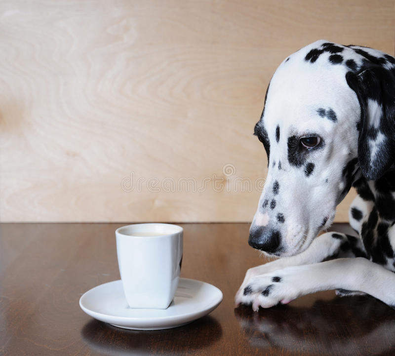 Dog dalmatian sitting at the table with a cup of coffee cappuccino royalty free stock photo
