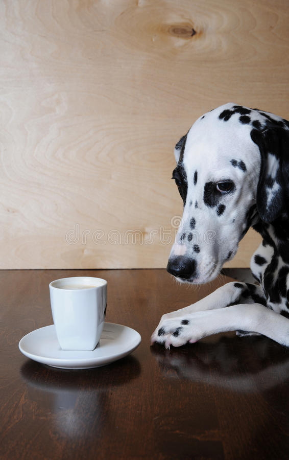 Dog dalmatian sitting at the table with a cup of coffee cappuccino royalty free stock photography