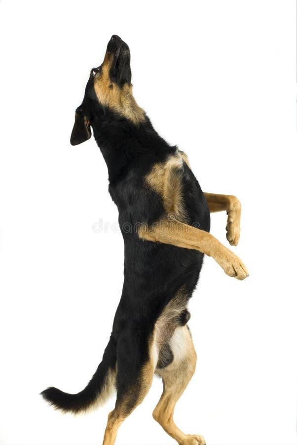 Dog dancer stock photos