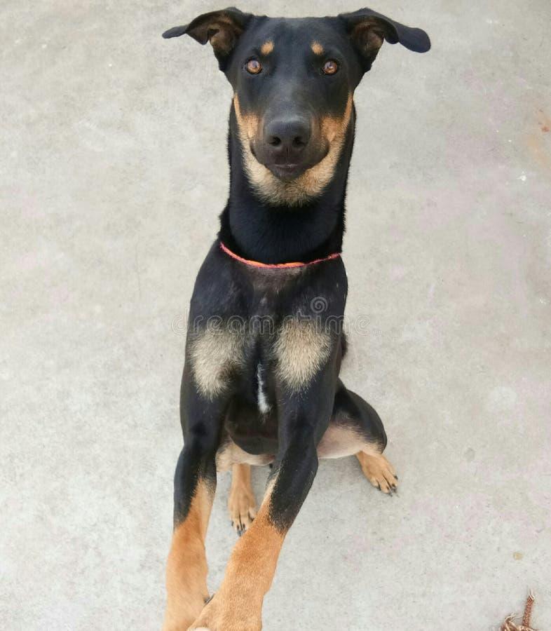 Dog with dark brown eyes. Animal stock image