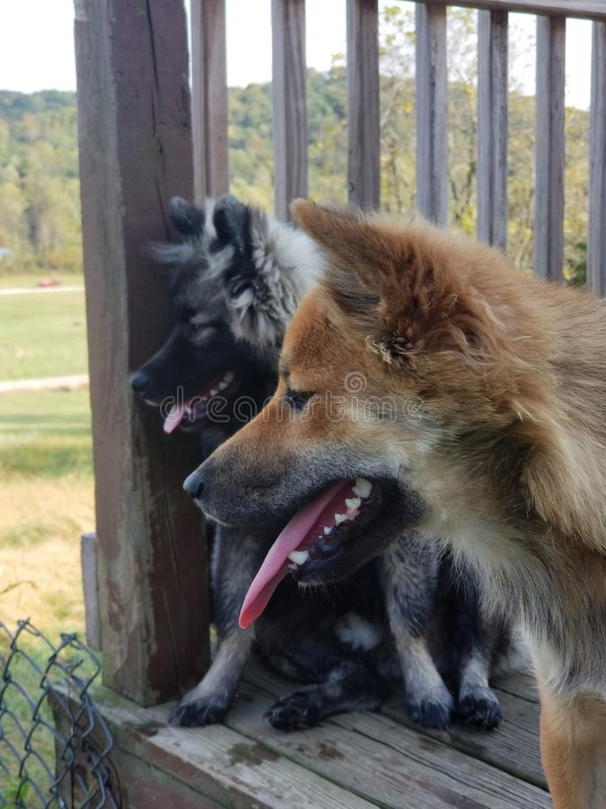 Dog days on the porch. Hot, tong, sheiba royalty free stock photography