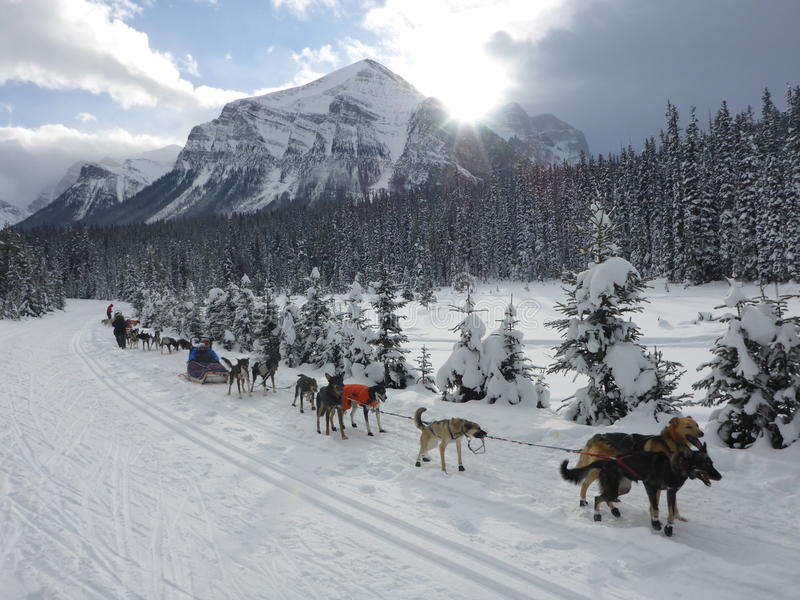 Dog Days. Taken while Dog sledding near Lake Louise, Alberta, Canada. Temple Mountain in the background royalty free stock images