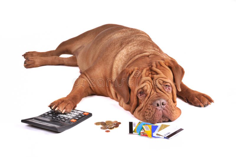 Dog in Debt. Not Enough Money To Pay Out Credit Card Debt stock photography
