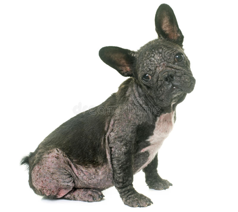 Dog with Demodicosis. French bulldog with Demodicosis in front of white background royalty free stock images