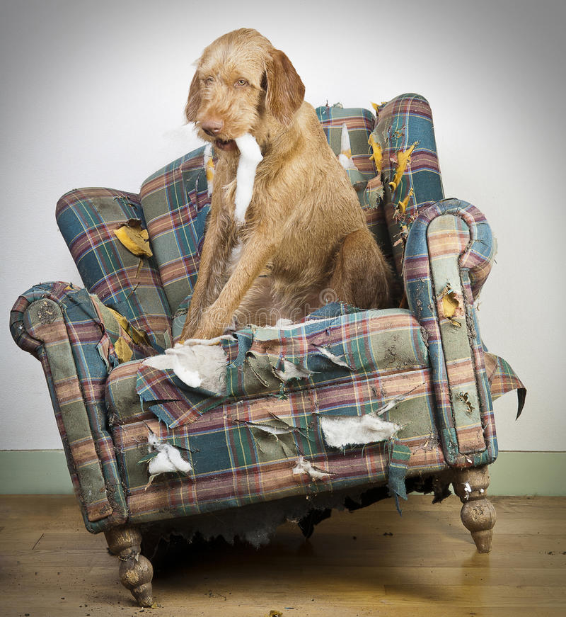Download Dog demolishes chair stock photo. Image of destruction - 19465450