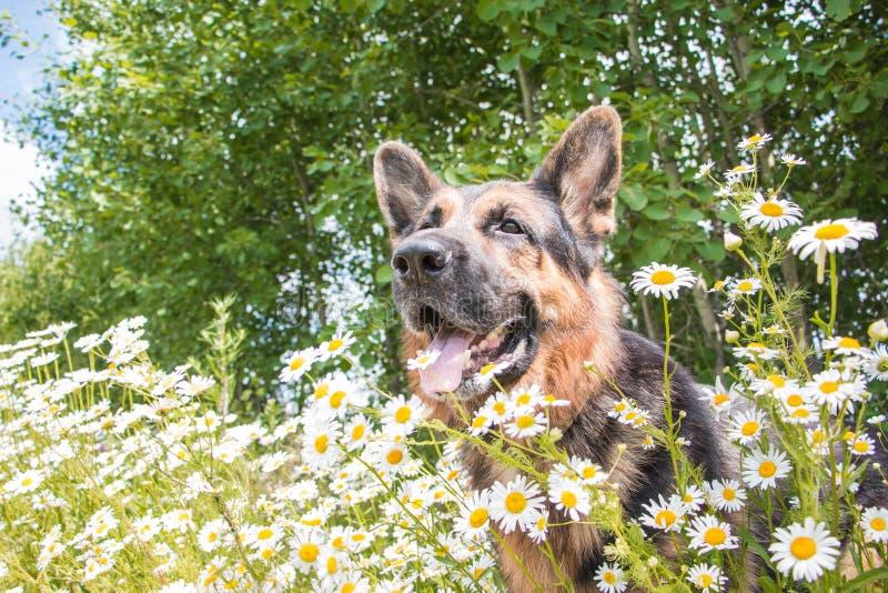 Dog den tyska herden och gräs omkring i en sommar arkivfoto