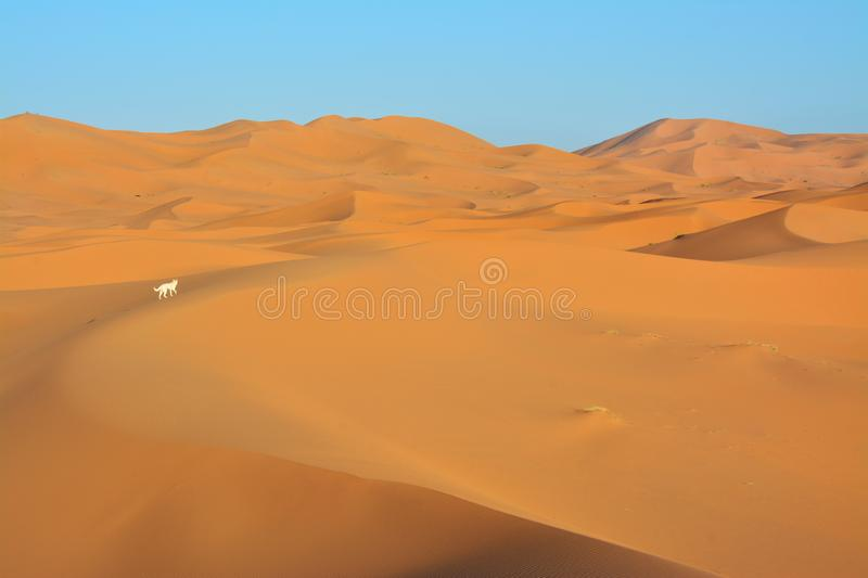 Dog, Desert, the Western Sahara in Morocco. Africa. Desert, the Western Sahara in Morocco. Africa stock image