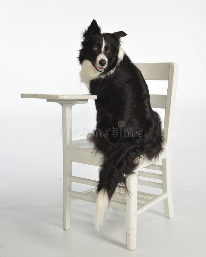 dog at desk royalty free stock images