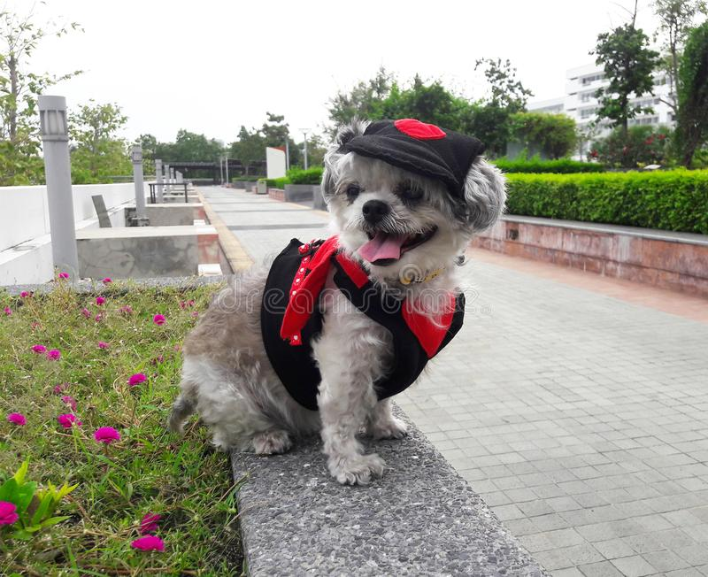 The dog in devil costume is travelling. Shishu cute dog in devil costume is traveling. It very funny royalty free stock photo