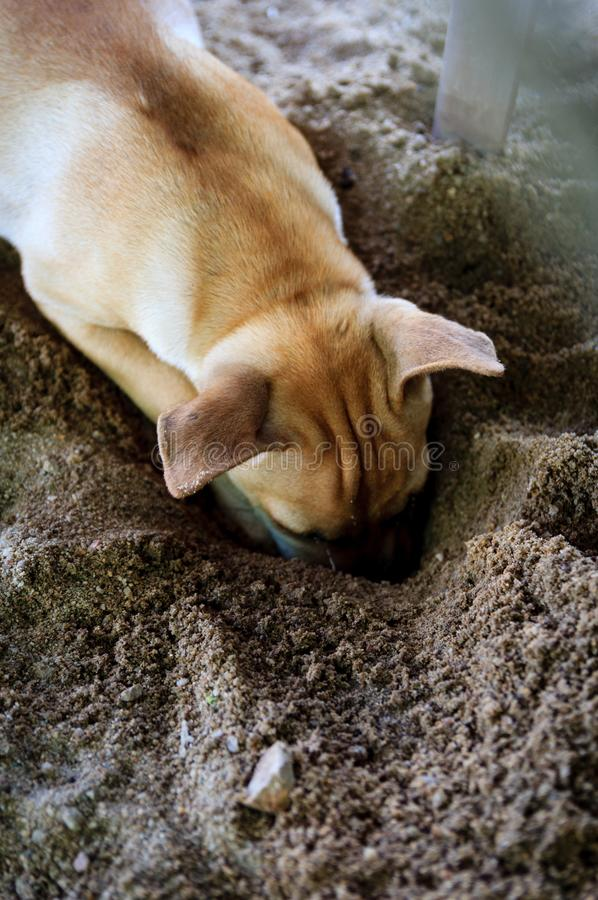 Dog Digging On The Beach royalty free stock image