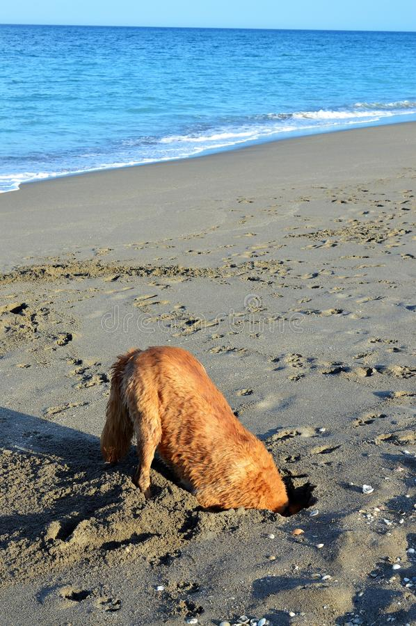 Dog digging for crabs royalty free stock image