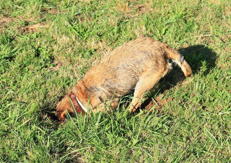 Dog digging hole into burrow royalty free stock photo
