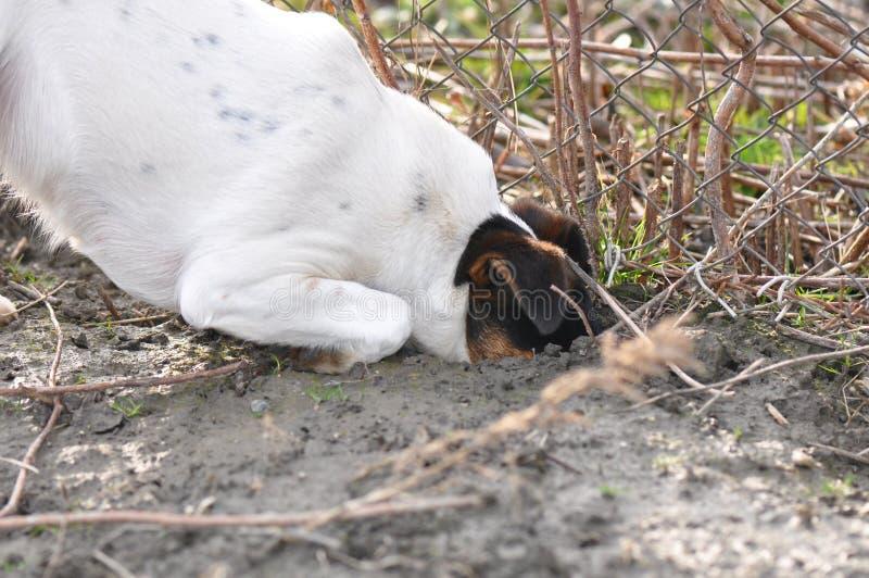 Dog digging a hole stock image