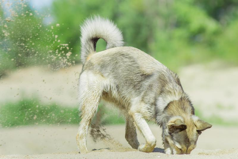 Dog digging in the sand stock photo