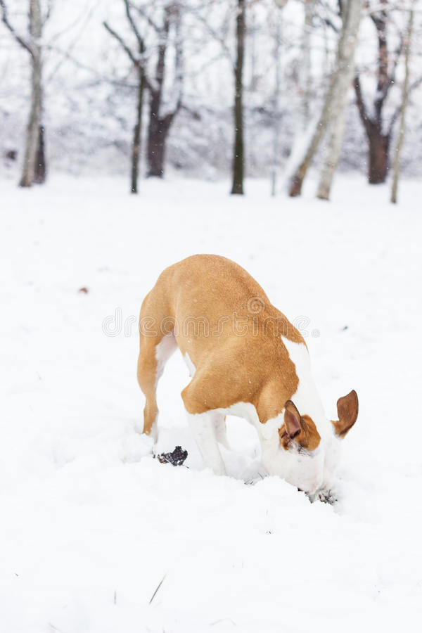 Download Dog digging in the snow stock photo. Image of outdoors - 37691450