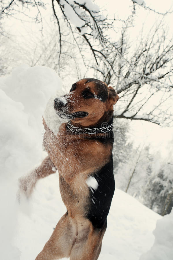Dog digging the snowdrift. In the park stock photography