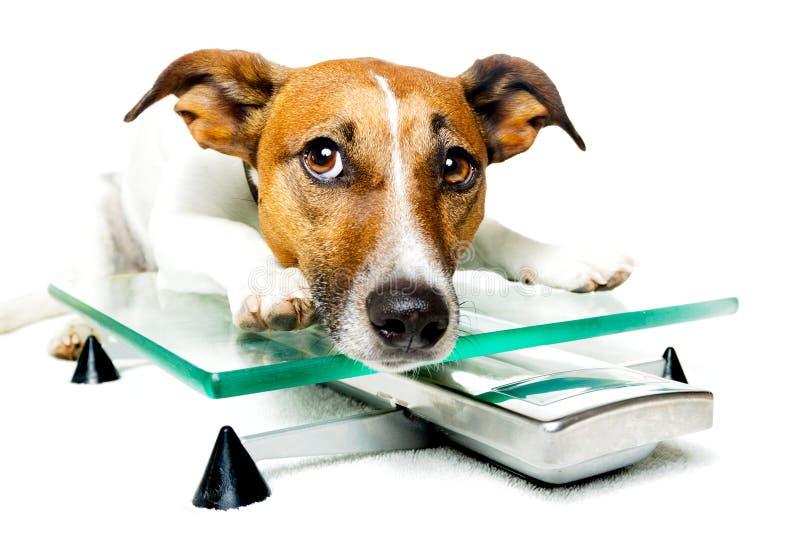 Dog on digital scale royalty free stock image