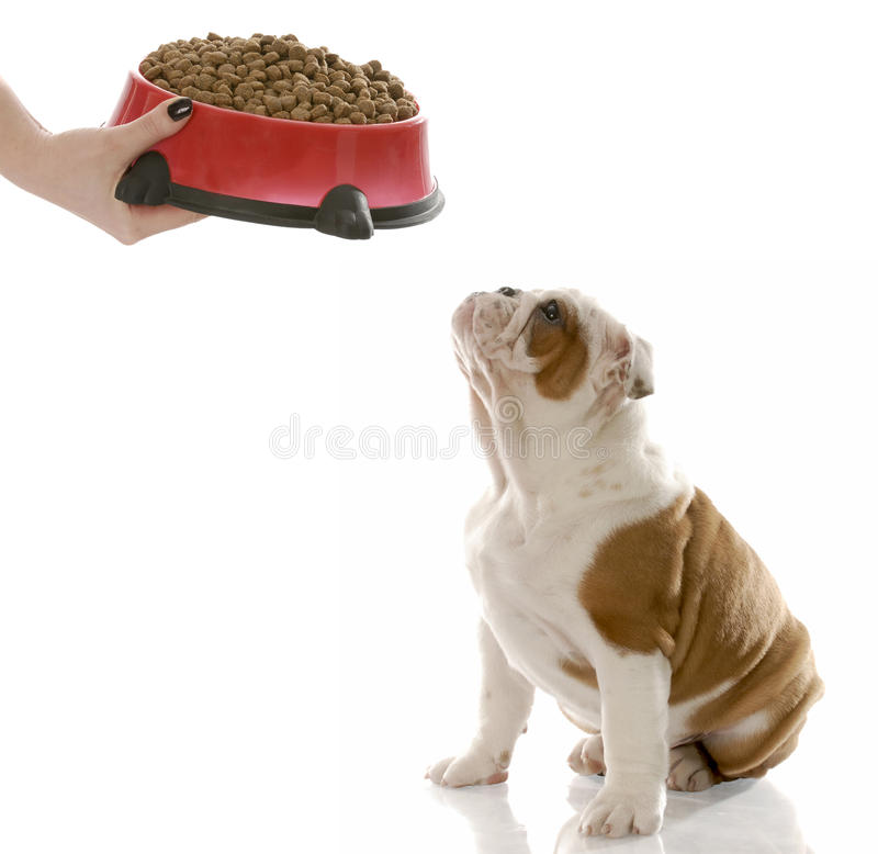 Download Dog dinner time stock photo. Image of adorable, hand - 12823116