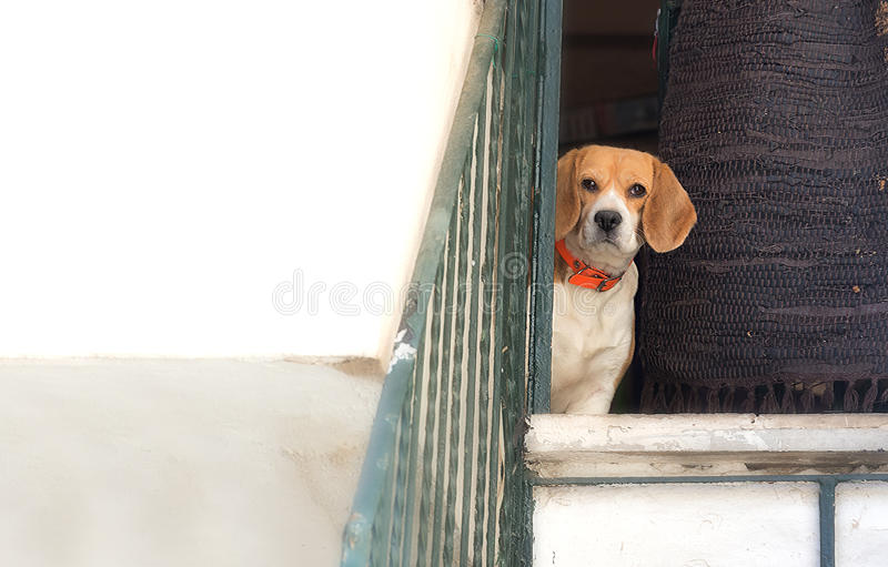 Dog distrust. Dog looking through a door with the expression of doubt, distrust royalty free stock photo