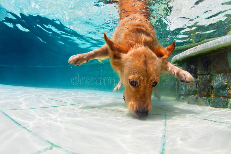 Dog diving underwater in swimming pool stock image
