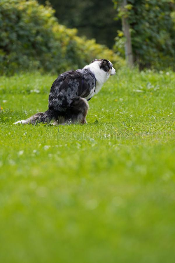 Dog does his business in a meadow stock photos