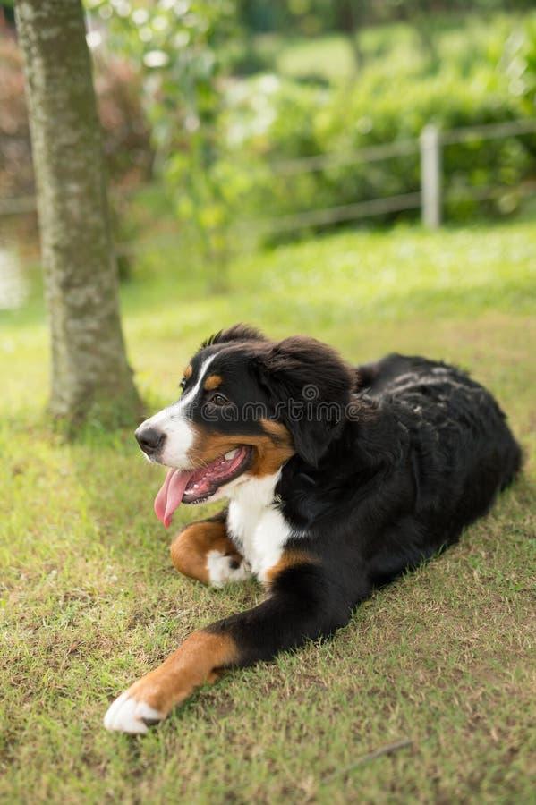 Dog, Dog Breed, Bernese Mountain Dog, Dog Like Mammal stock image