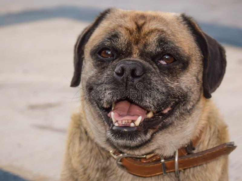 Dog, Dog Breed, Dog Like Mammal, Pug Free Public Domain Cc0 Image