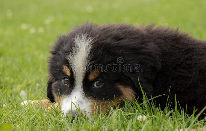 Dog, Dog Like Mammal, Bernese Mountain Dog, Dog Breed stock photography
