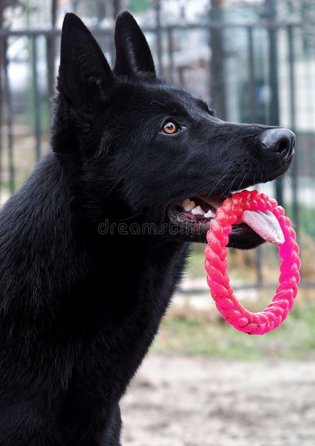 Dog, Dog Like Mammal, Black, Dog Breed royalty free stock images