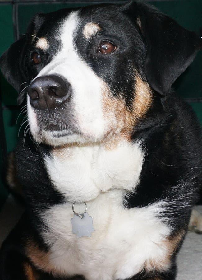 Dog, Dog Like Mammal, Dog Breed, Greater Swiss Mountain Dog royalty free stock photos