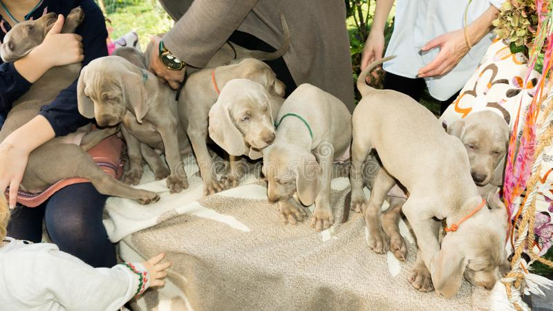Slipping dogs doggy breed weimaraner pets animals stock photos