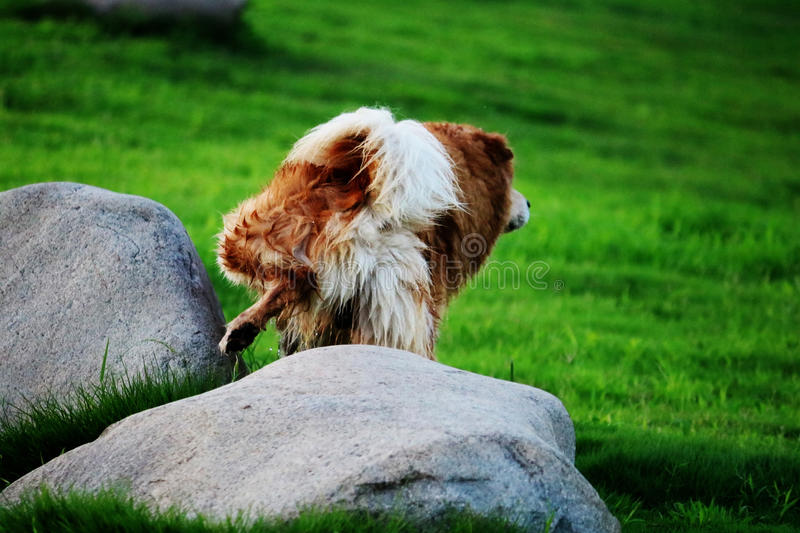 Beautiful Dog is doing pee. A dog is doing pee in the summer while playing royalty free stock photography