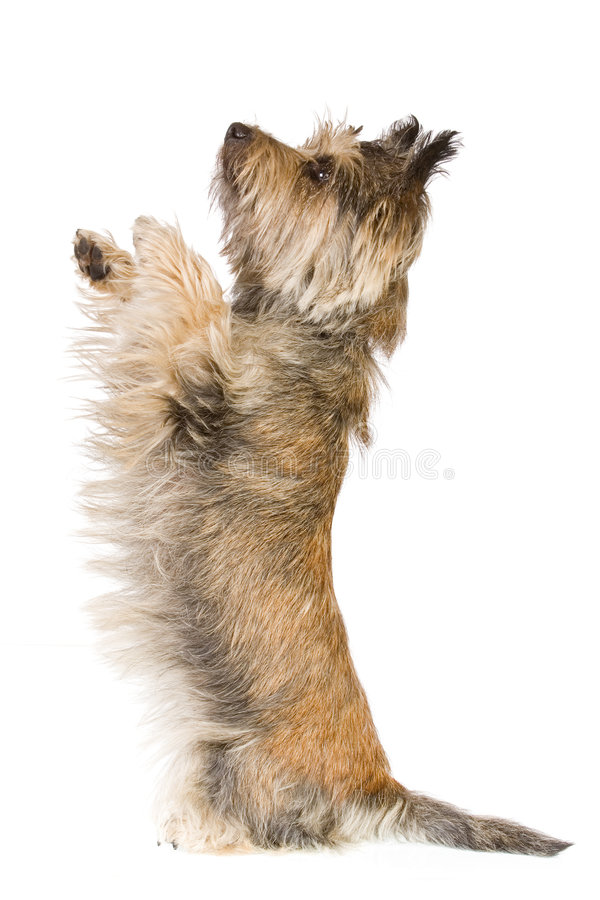 Dog doing a trick. Dog isolated on white background
