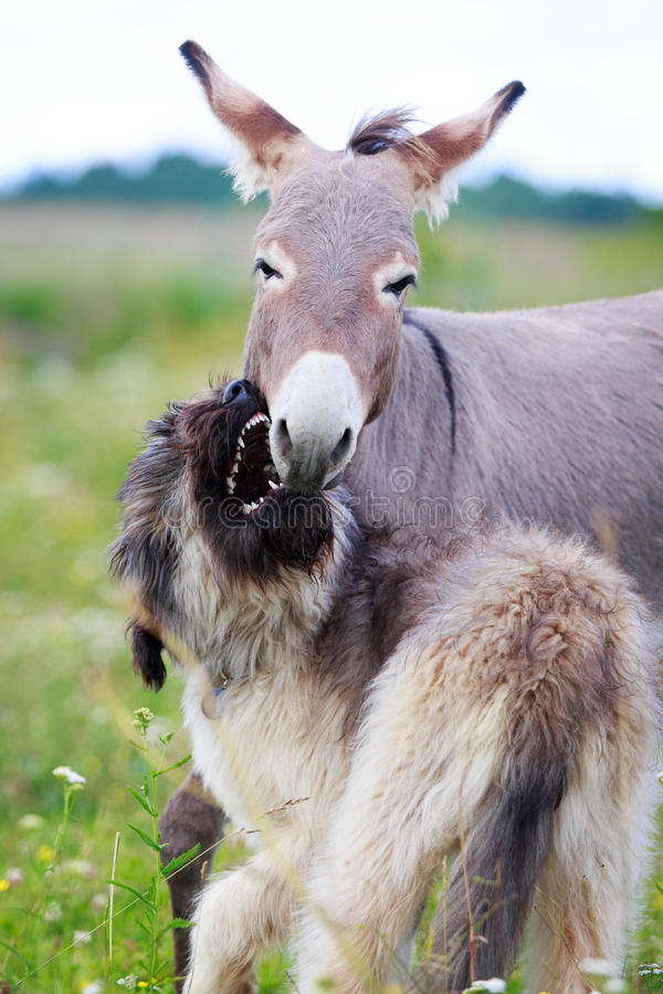Download Dog and Donkey stock photo. Image of field, gray, briard - 32764738