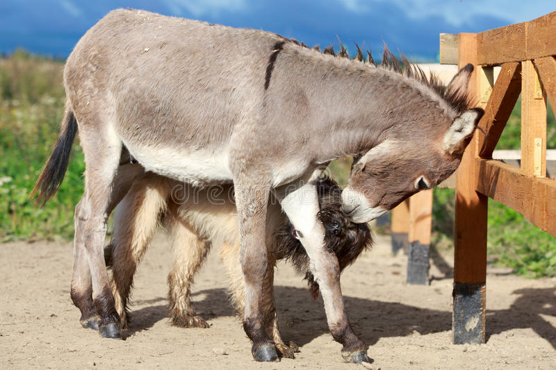 Download Dog and Donkey stock photo. Image of small, summer, gray - 34955198