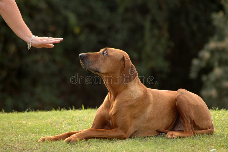 Dog down. A white hand of a caucasian woman showing her obedient Rhodesian Ridgeback hound dog with cute expression in the face the sign without words for DOWN