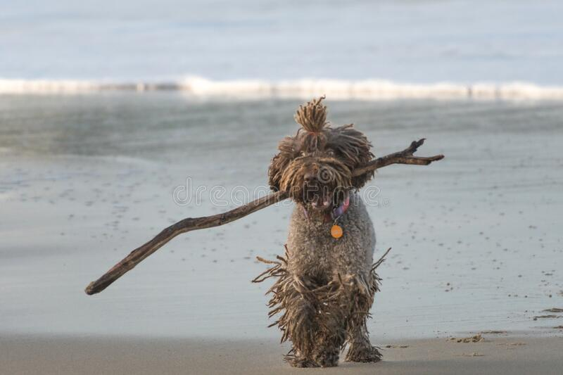 A dog with dreadlocks plays with a stick on the beach royalty free stock photography